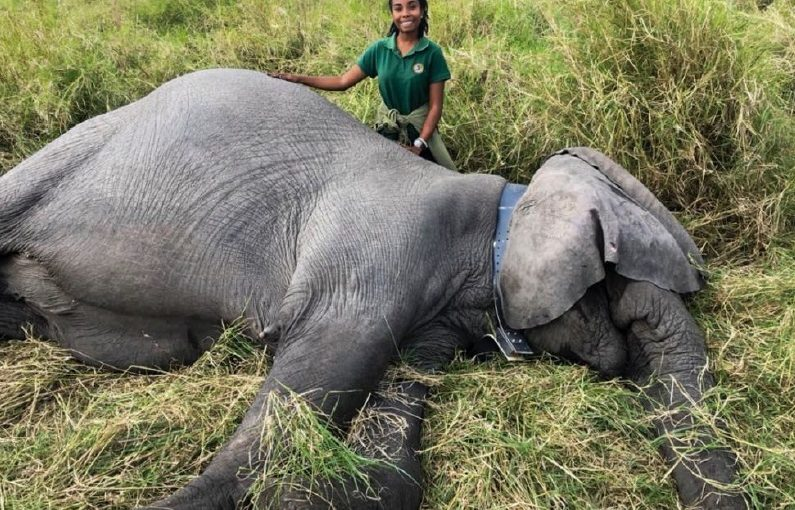File photo:Dominique Gonçalves during an elephant collaring operation at Gorongosa National Park, Mozambique. [Credit: Gorongosa National Park]
